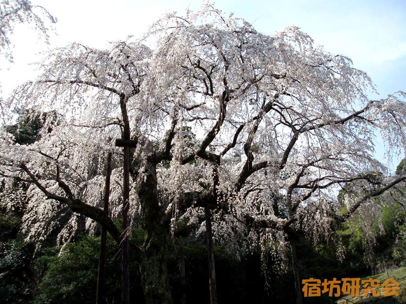 紹太寺のしだれ桜