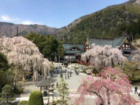 身延山久遠寺境内の桜