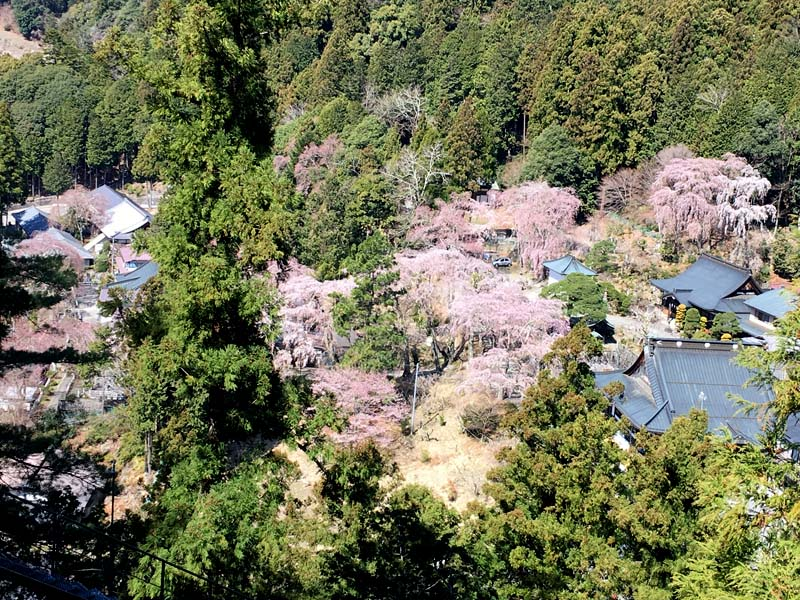 身延山の西谷桜絨毯
