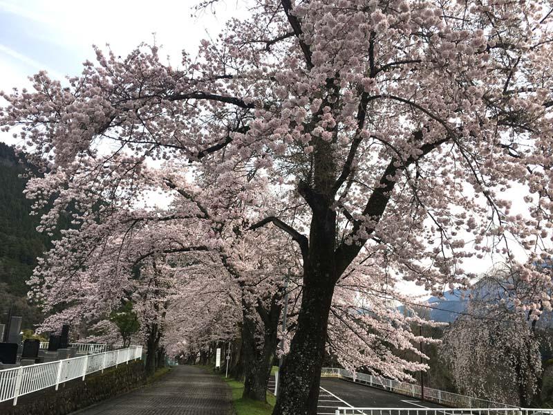 身延山寺平の桜