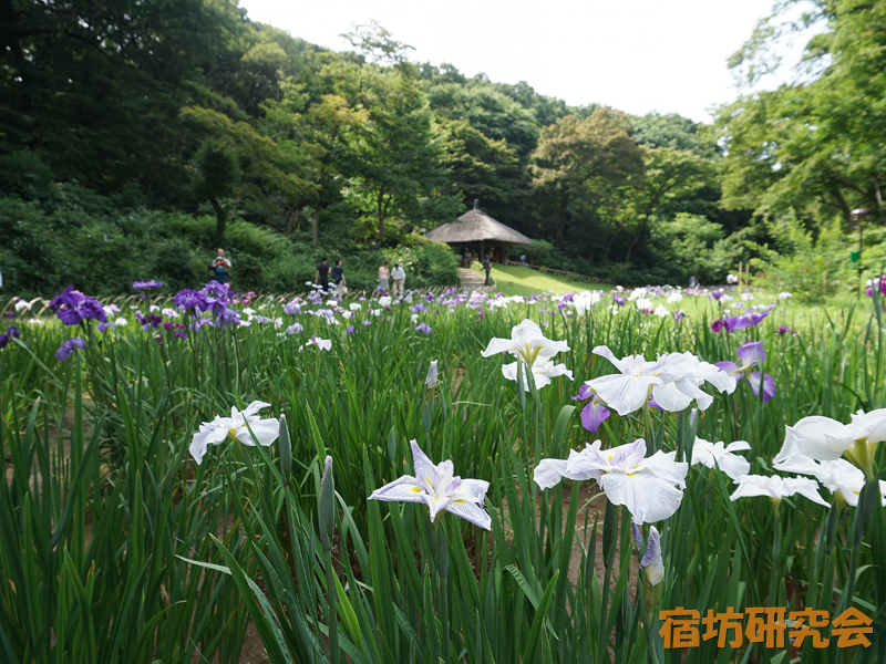 明治神宮の菖蒲苑