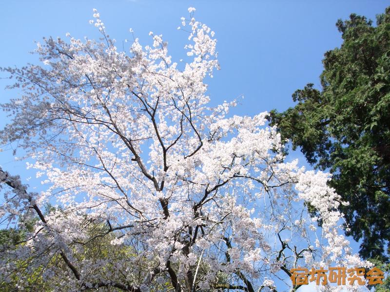鷺森神社の桜