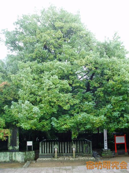 熊野速玉大社のナギの大樹