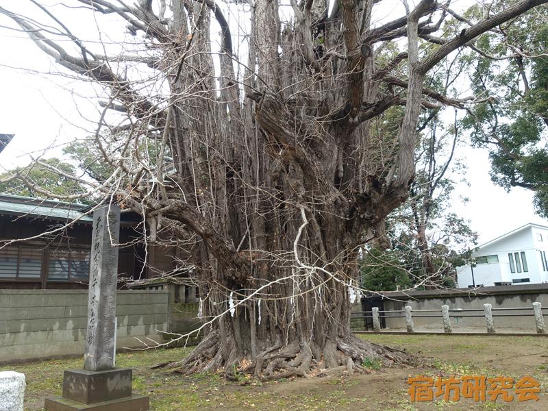 葛飾八幡宮の千本公孫樹