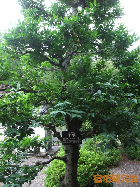 方広寺のナギの樹